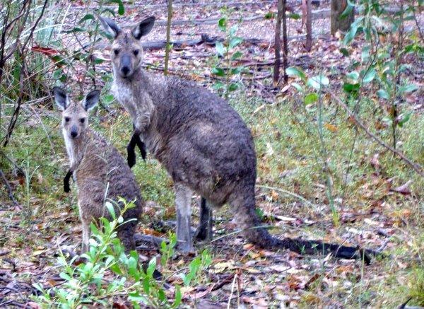kanguruhs.jpg